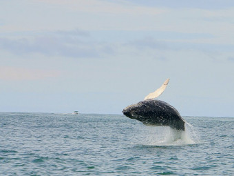Young Humpback whale breaching