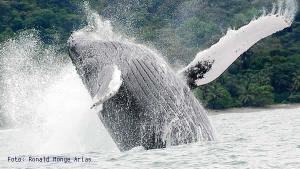 Avistamiento de ballenas - Parque Nacional Marino Ballena