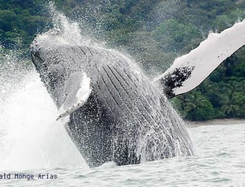 En Julio llegan las ballenas jorobadas