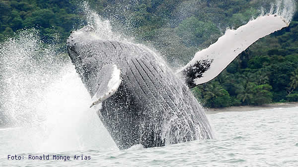 Humpback whale breaching in the Marino Ballena National park.